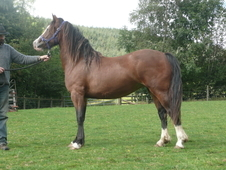 Stylish Home-bred Welsh Cob Filly