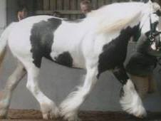 Show Quality, Traditional, Heavyweight Cob 15. 1hh.