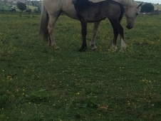 Grey Filly Shire x Draught to make 16. 2hh