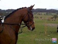Coloured horse - 5 yrs 15.1 hh Skewbald - Lancashire