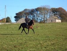 All Rounder horse - 7 yrs 16.3 hh Bay - Derbyshire