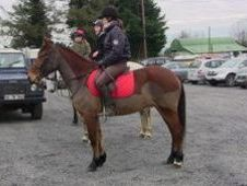 All Rounder horse - 5 yrs 14.2 hh  - Laois
