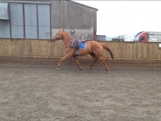 6yr old gelding, loves to jump