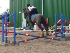Pony Club/riding Club All-rounder, 15hh Gelding