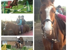 Pony Club Ponies horse - 8 yrs 11 mths 13.1 hh Chestnut - West Yo...