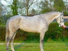 All Rounder Horse - 6 Yrs 16. 3 Hh - Kent