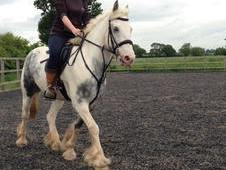 14. 2 blue & white gelding 8 yrs