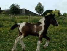 Blue & White Filly Shire x Cob To Make 16. 2hh