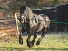 Mountain & Moorland horse - 15 yrs 14.2 hh Black - Essex