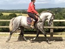 15. 1hh 5yrs Connie X Grey Gelding by Fiona's Man