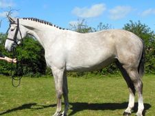 All Rounder Horse - 7 Yrs 16. 3 Hh - Kent