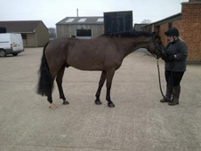 All Rounder horse - 9 yrs 14.2 hh Black - Leicestershire
