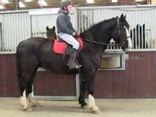 All Rounder horse - 5 yrs 16.0 hh  - Laois