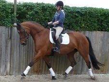 Hanoverian Head Stud Book Bay Mare 13yo Broodmare