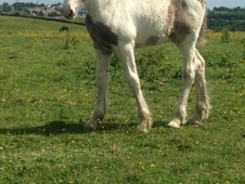 Big Filly Foal Shire x Draught To Make 16. 2 / 17hh