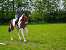 17. 2hh Allrounder Coloured Sportshorse