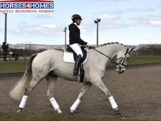 Ali, 17. 2h Warmblood X, 10 Years For Loan, Gelding - West Yorkshire
