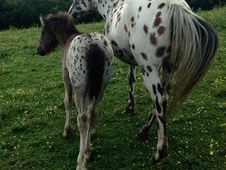 Appaloosa x Cob Filly Foal To Make 15. 1hh