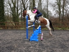 All Rounder horse - 9 yrs 15.3 hh Skewbald - Hampshire