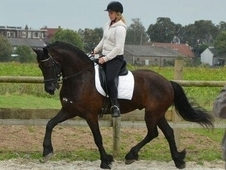 Fantastic Friesian Gelding, Kfps Registered