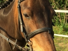 Showing Horse - 12 Yrs 13. 2 Hh Brown