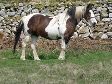 15. 2 ish Nice looking coloured mare and shetland companion