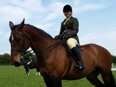 17hh warmblood for sale