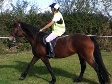 welsh section D 4 year old mare