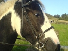 All Rounder horse - 11 yrs 15.1 hh Piebald - Derbyshire