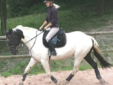 15. 2hh Stunning Irish Sports Horse
