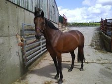 15. 3hh sweet natured mare