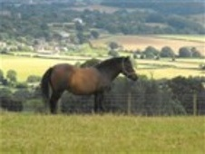 Mountain & Moorland horse - 19 yrs 11.2 hh Bay - Gwent
