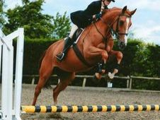 Irish Sports Horse Mare with Stunning Potential For Sale