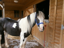 Amazing Cob gelding Must sell soon