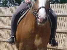 Haflinger Mare For Sale