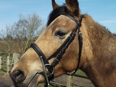 All Rounder horse - 6 yrs 14.0 hh Dun - East Sussex