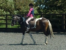 All Rounder horse - 6 yrs 5 mths 13.0 hh Tri-Coloured - W Glam
