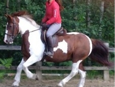 15hh Irish Cob, Great All-rounder