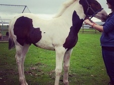 2 Year old skewbald tobiano Filly