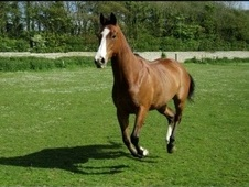 All Rounder horse - 8 yrs 3 mths 16.1 hh Bay - East Sussex