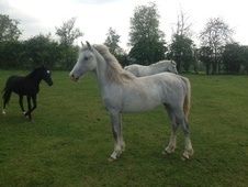 Young Stock  horse - 1 yr 1 mth 15.2 hh Grey - Cambridgeshire