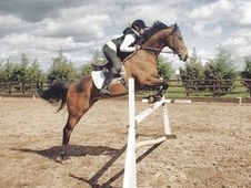 Dark Bay Thoroughbred For Sale (poss Lwvts)