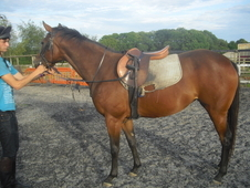 Bay 15 Hands 1 Filly For Sale