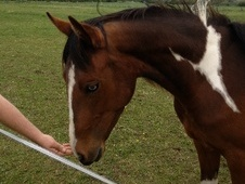 Western horse - 2 yrs 15.0 hh Bay - Norfolk