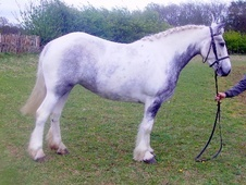 Family horse - 4 yrs 14.0 hh Blue & White - Kent