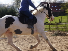 Gypsy Vanner 14. 2 for sale