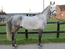 All Rounder horse - 7 yrs 15.0 hh Dapple Grey - Gloucestershire