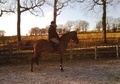 Dressage horse - 9 yrs 16.2 hh Bay - West Sussex