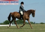 Whitney, 16h, 3/4 Thoroughbred, 19 years, Mare - Warwickshire