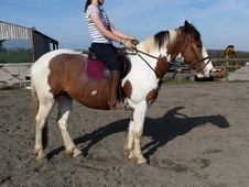 15. 3hh Gelding for sale